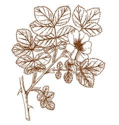 Rosa coripubifera vector