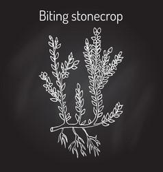 biting stonecrop sedum acre or goldmoss vector image