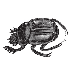 Scarab beetles vintage engraving vector