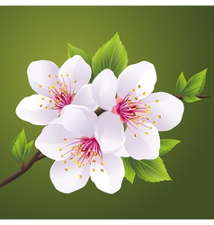 Blossoming branch of cherry tree sakura vector