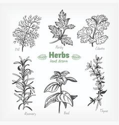 Culinary herbs hand drawn vector