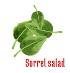Fresh sorrel salad vegetable green leaves icon vector