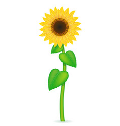 Sunflower 02 vector
