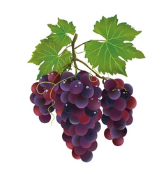 Realistic black grape with water drops vector