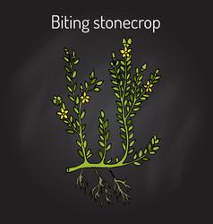 Biting stonecrop sedum acre or goldmoss vector