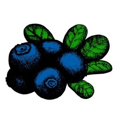 sketch of blueberry vector image vector image