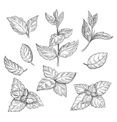Mint hand sketch  peppermint vector