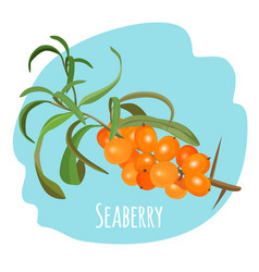 hippophae sea buckthorn seaberry sandthorn vector image vector image