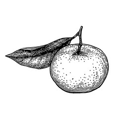 Ink sketch of mandarin orange vector