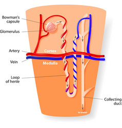 Nephron structure vector