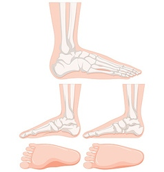 Set of human foot bone vector image