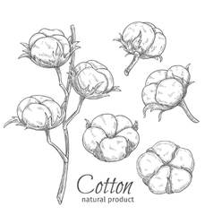 Hand drawn cotton flowers vector image