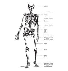 human skeleton vintage vector image