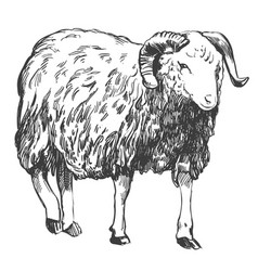 sheep hand drawn realistic vector image