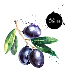Hand drawn watercolor painting olives on white vector