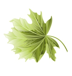 Maple tree leaf on a white background vector image
