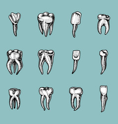 Molar teeth enamel dental set work of the vector