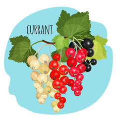 Currant with green leaves of white black and red vector