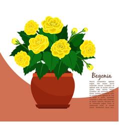 Begonia indoor plant in pot banner vector