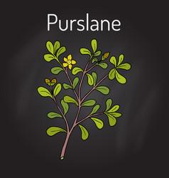 common purslane portulaca oleracea or verdolaga vector image vector image