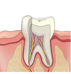 Tooth structure anatomy of teeth dental medical vector