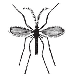Hessian fly vintage vector