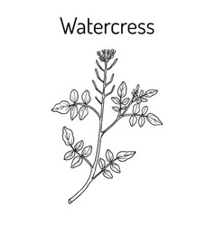 Watercress nasturtium officinale aquatic vector