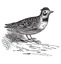 Horned lark vintage engraving vector image vector image