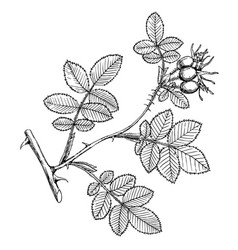 Rosa rubicinosa vector