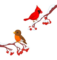Cute cartoon robin bird and cardinal bird vector