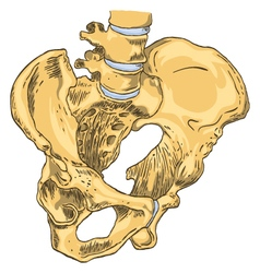Pelvic girdle medical vector