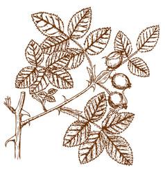 Old rose shmauhauseliana vector