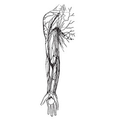 Lymphatics and lympatic glands of axilla and arm vector