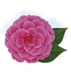 Single blooming pink camelia japanese rose vector