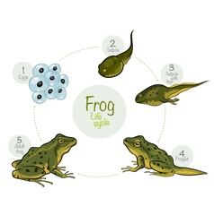 Life cycle of a frog vector image vector image