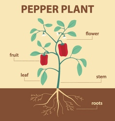 Pepper plant vector