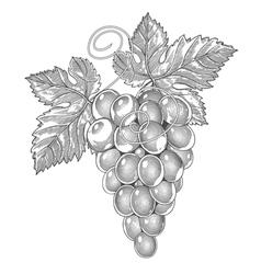 Grape in vintage engraved style vector image