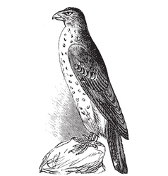 Coopers hawk vintage engraving vector