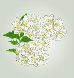 Twig of jasmine blossoms of spring vector