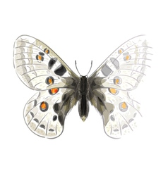 Butterfly Parnassius Apollonius vector image