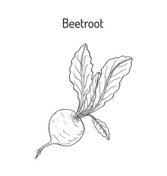 beetroot with green leaves vector image