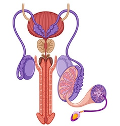 Reproductive system in male vector