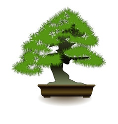 japanese bonsai tree on white background vector image vector image