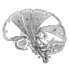 Projection fibers of the cerebrum vintage vector