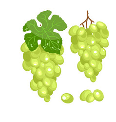 bunch of green grapes on a white background vector image