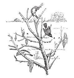 Warblers eating plant lice vintage vector