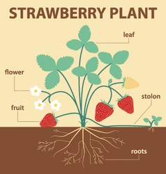 Strawberry plant vector
