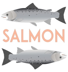 Salmon isolated on white vector