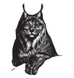 Lynx vintage vector