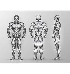 Anatomy of male muscular system exercise and vector image